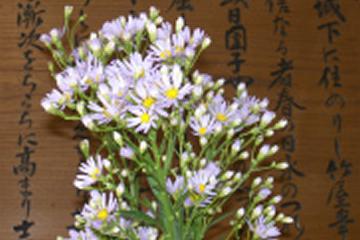 写真:紫苑