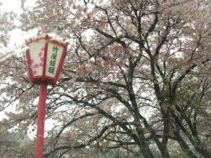 葉桜も美しいです🌸