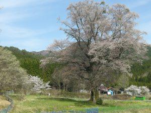 別尺の桜 周りも のどかで深呼吸したくなりますよ